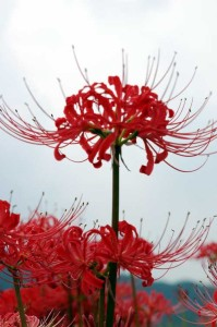 Cluster_amaryllis_close-up
